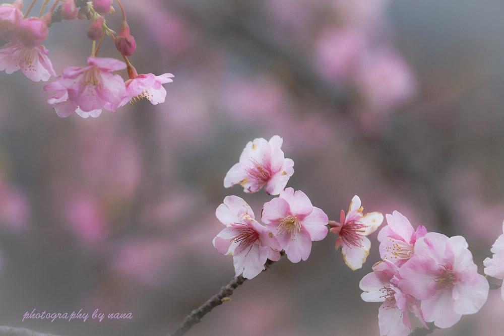 河津桜_MG_9554