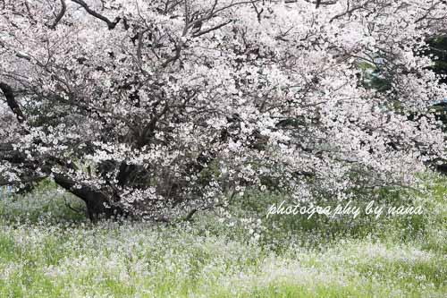 桜8_MG_0854-2