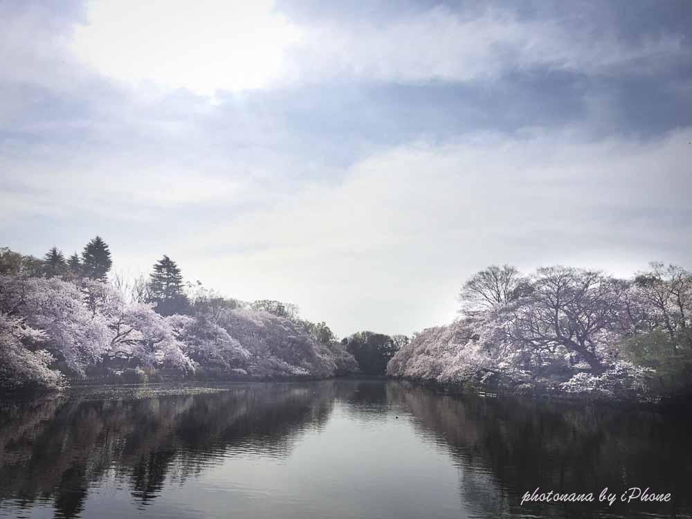 桜S__4415497