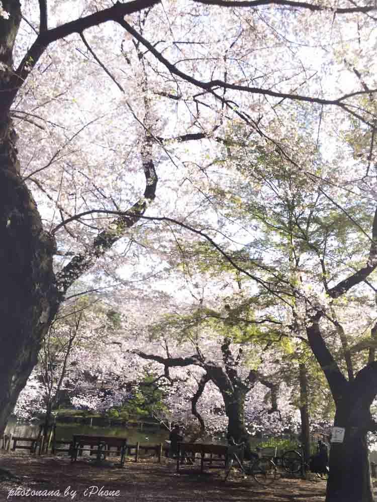 桜S__4415505