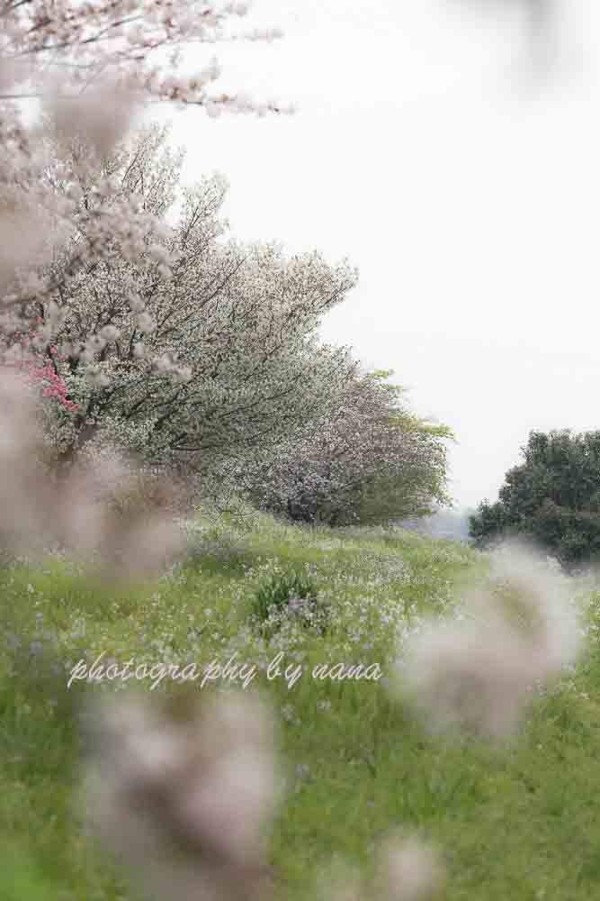 桜9_MG_0826