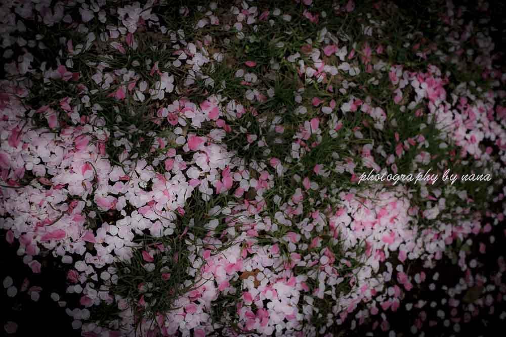 桜散る_MG_1099