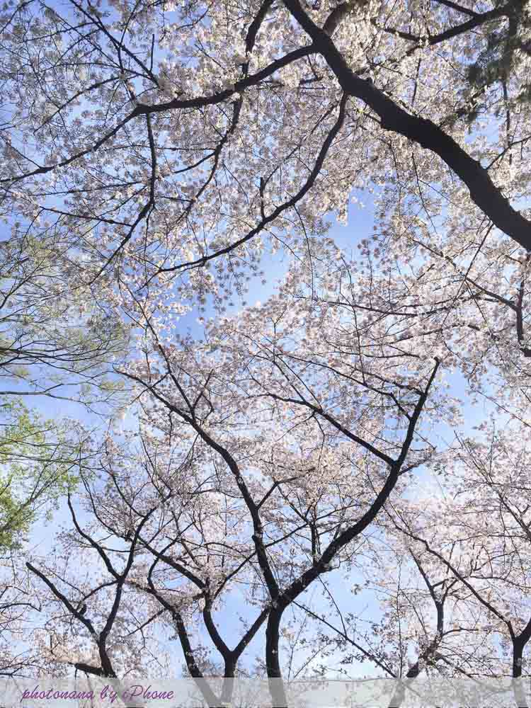 桜S__4415504