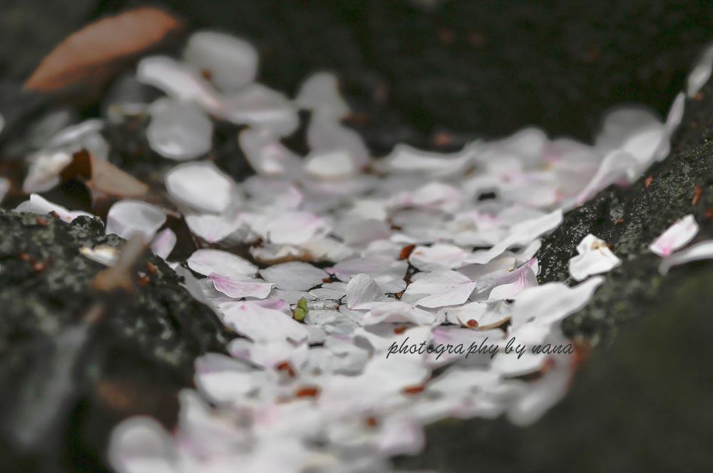 桜散る_MG_1058