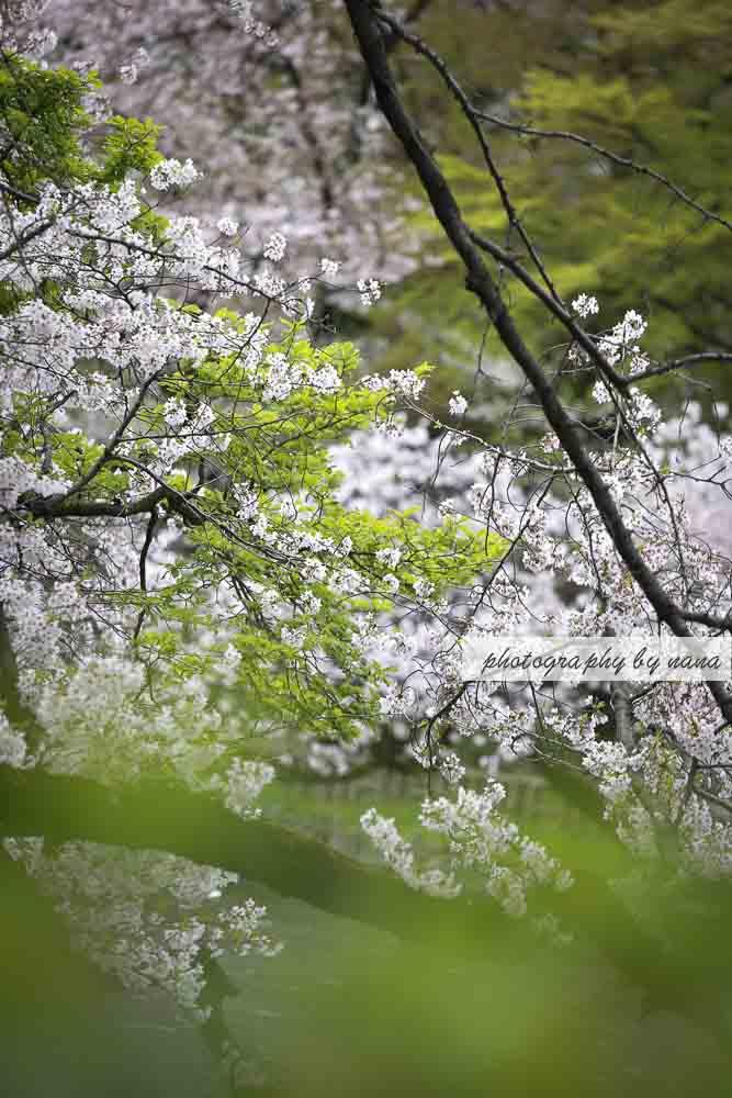 桜散る_MG_1044
