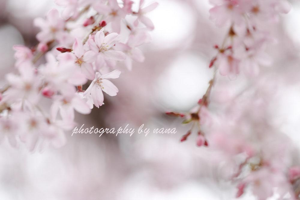 桜11_MG_0693