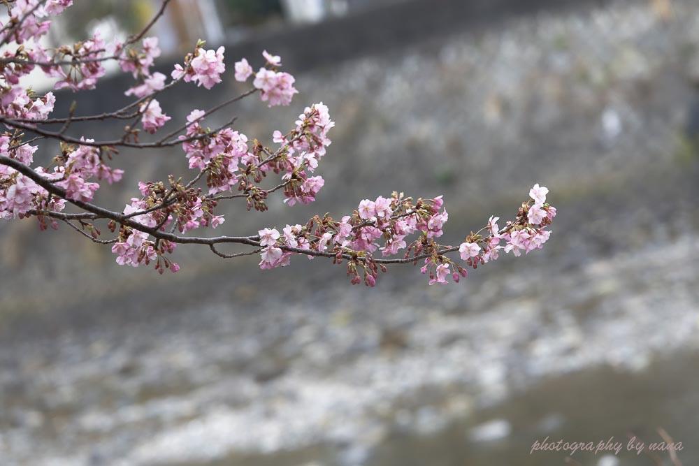 河津桜_MG_9542