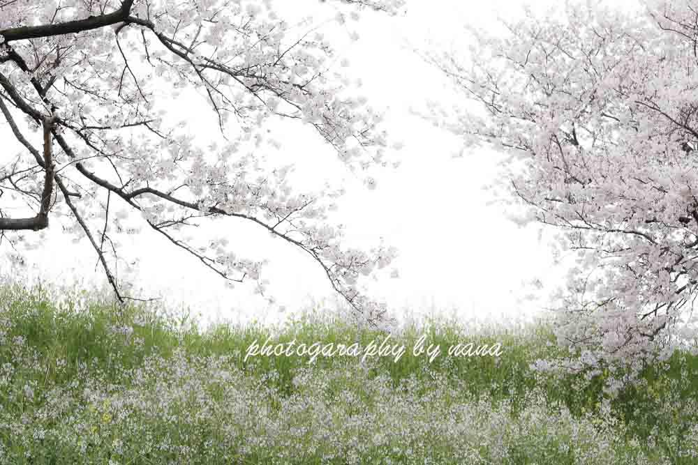 桜5_MG_0888
