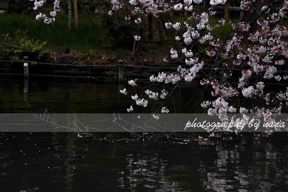 桜4_MG_0718のコピー
