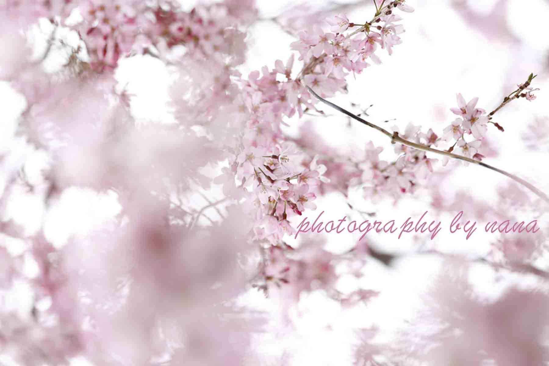 桜1_MG_0694
