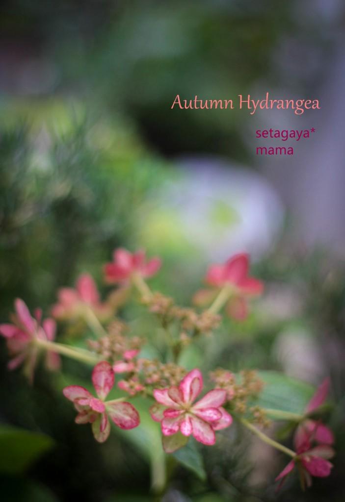 Autumn hydrangeaIMG_5688