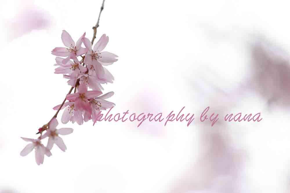桜2_MG_0773