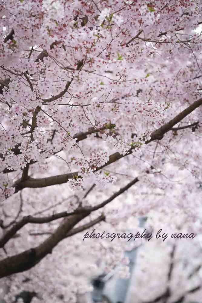 桜_MG_0989