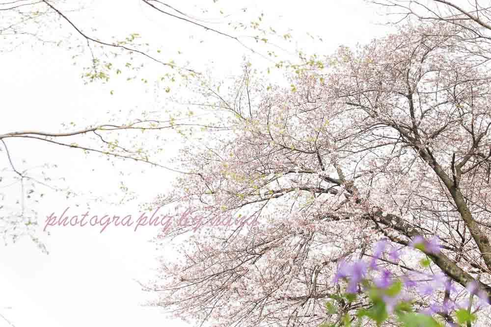 桜10_MG_0487