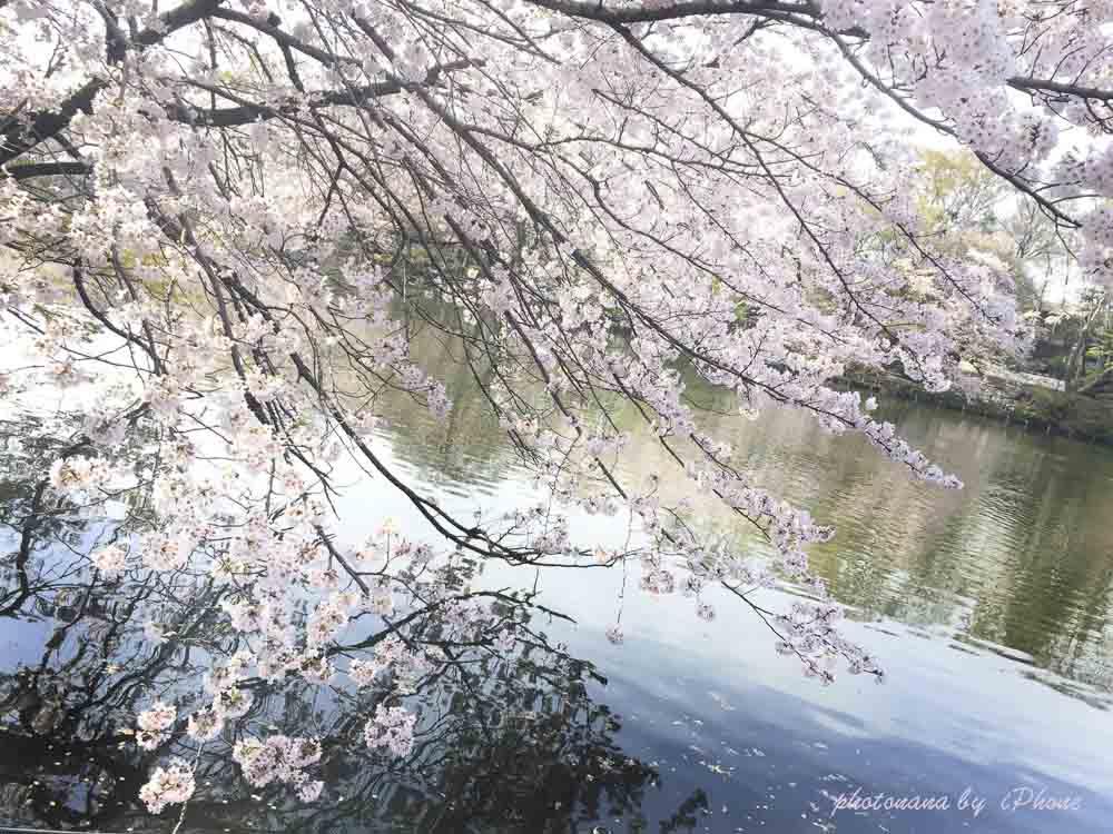 桜S__4415499