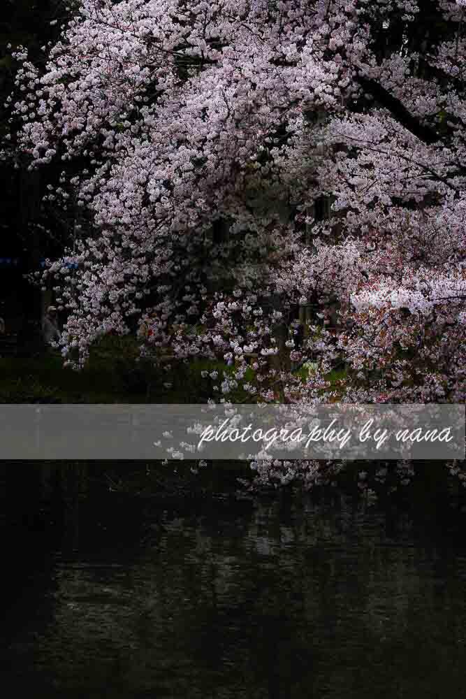 桜3 4227360
