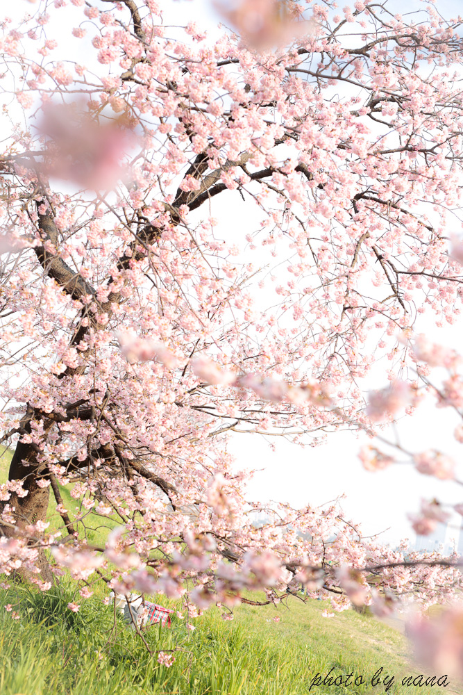 cherry-blossoms_MG_8732