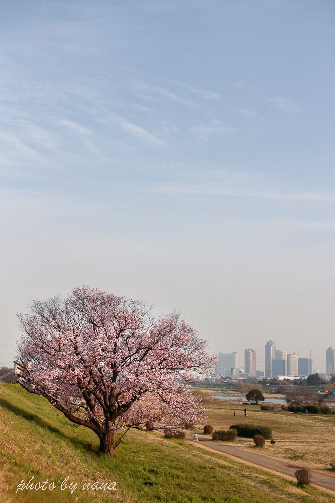 cherry-blossoms_MG_8754