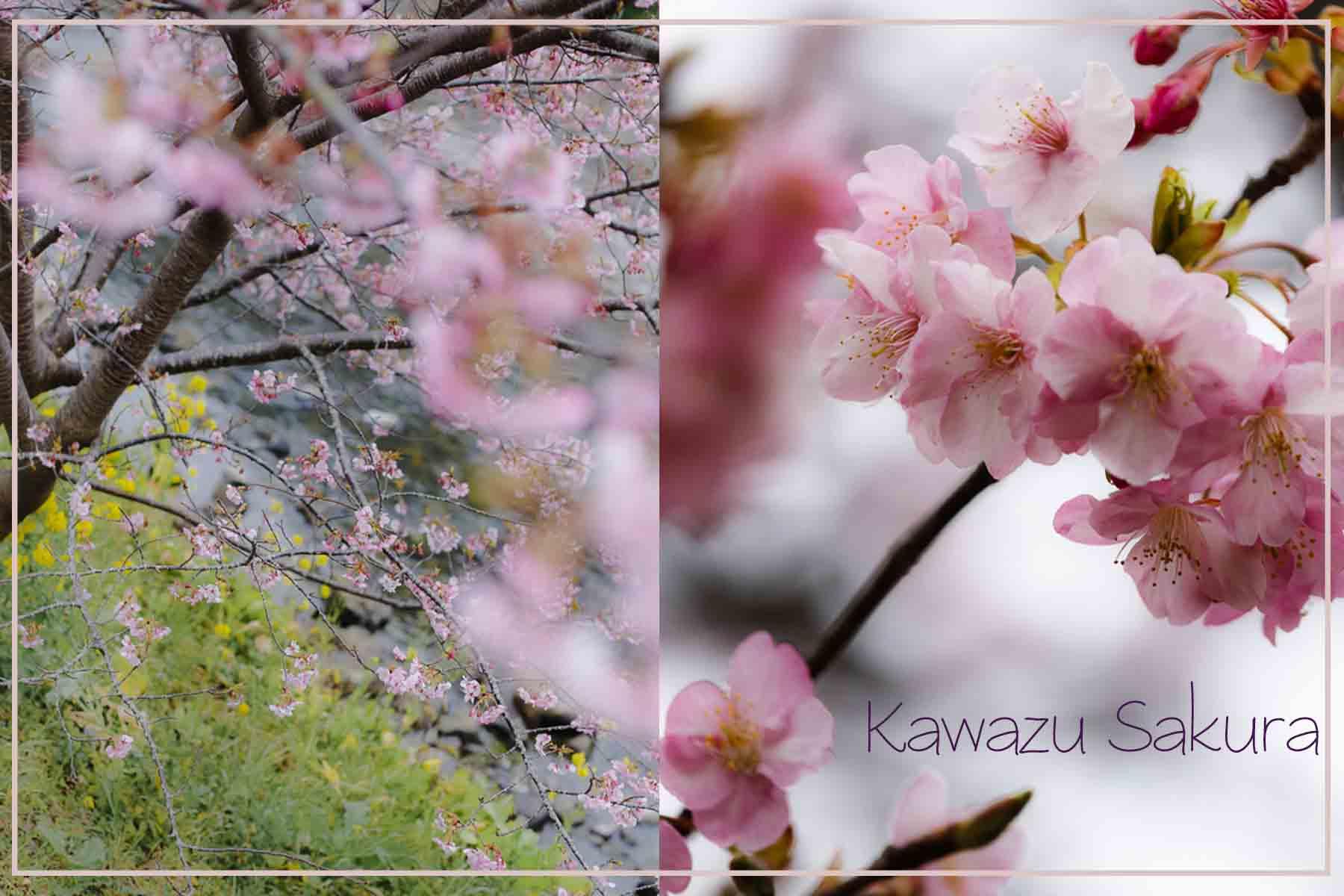 河津桜.psd 1