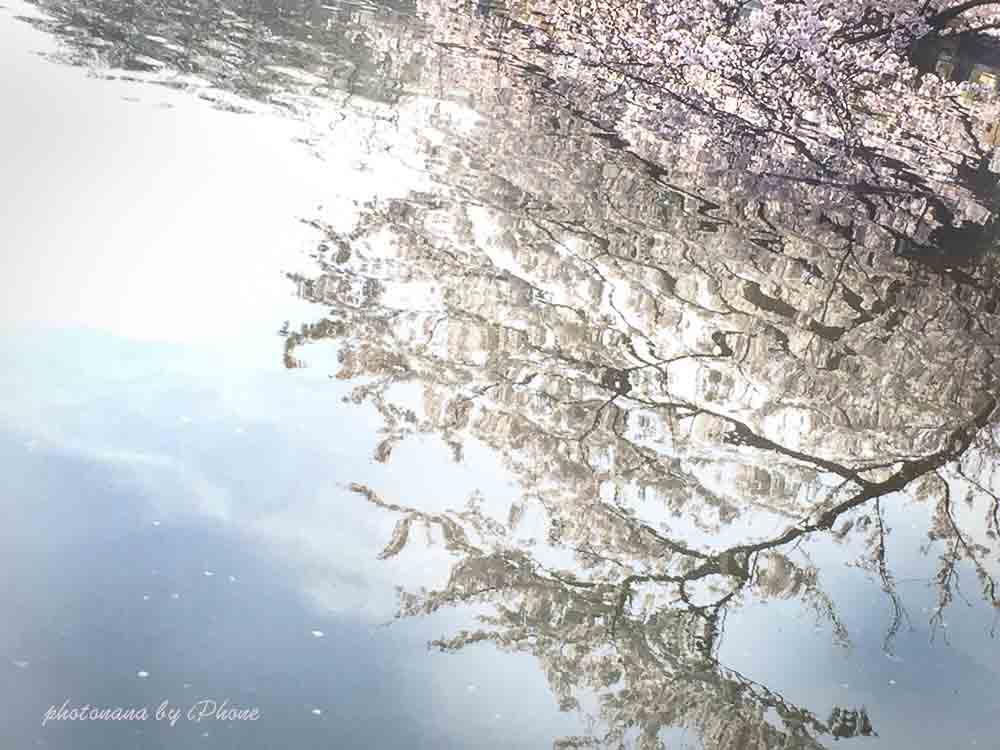 桜S__4415501
