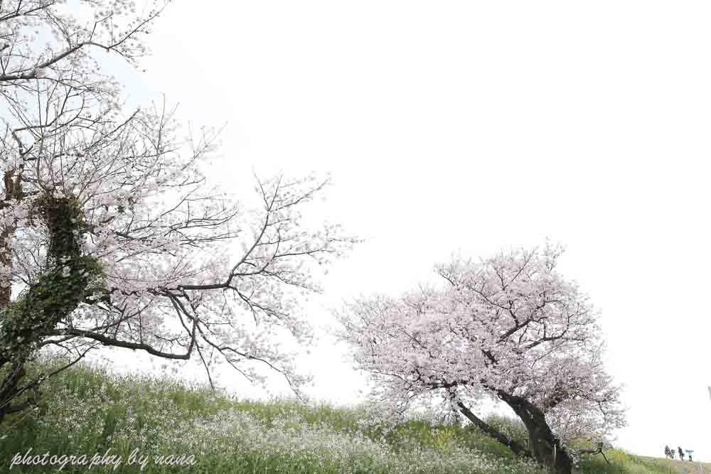 桜6_MG_0893