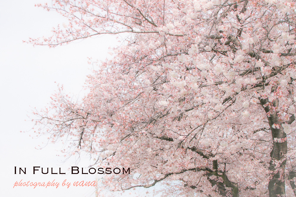 in-full-blossomW03A9777