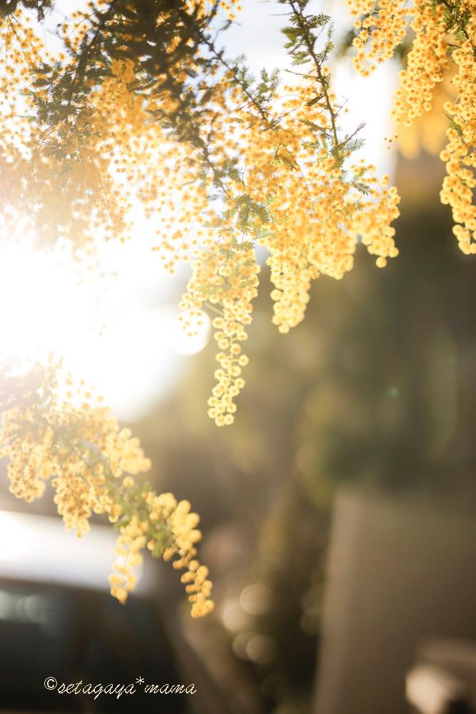 mimosa-_MG_8416