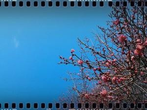 plum tree 2